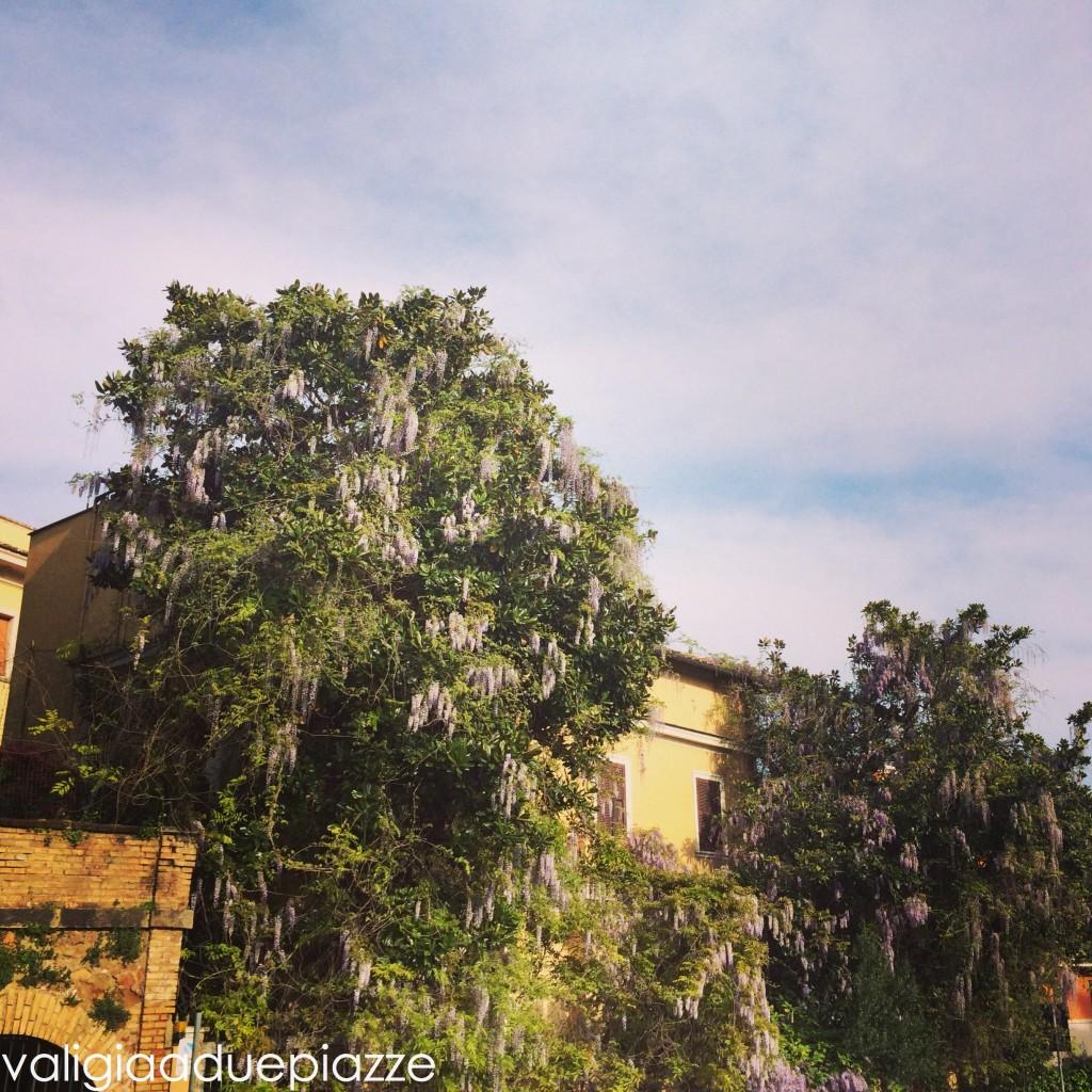glicine sugli alberi Santa Prisca