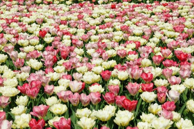 distesa tulipani olanda