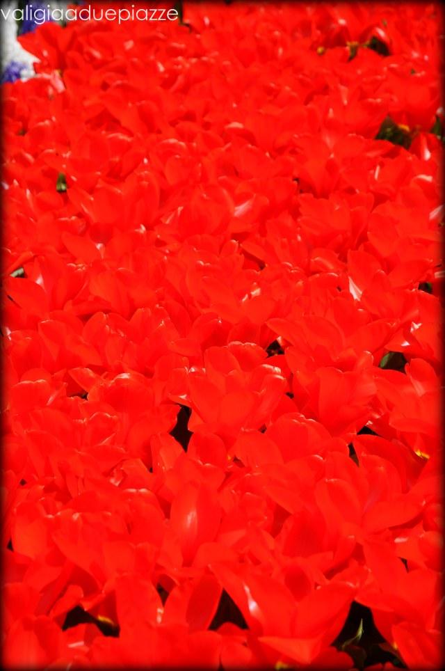 dettaglio tulipani