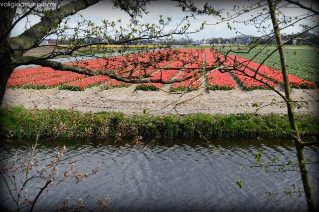 campi di tulipani keukenhof