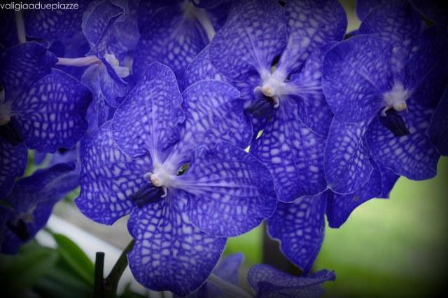 orchidee olanda