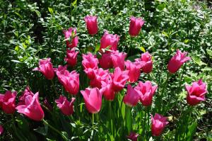 tulipani fucsia