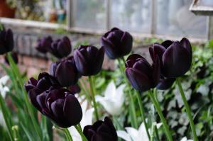 tulipani neri