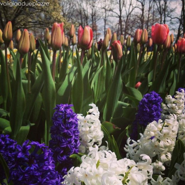 tulipani giacinti olanda