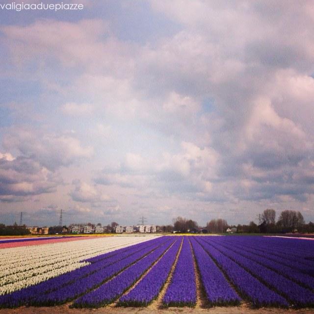 coltivazioni tulipani olanda