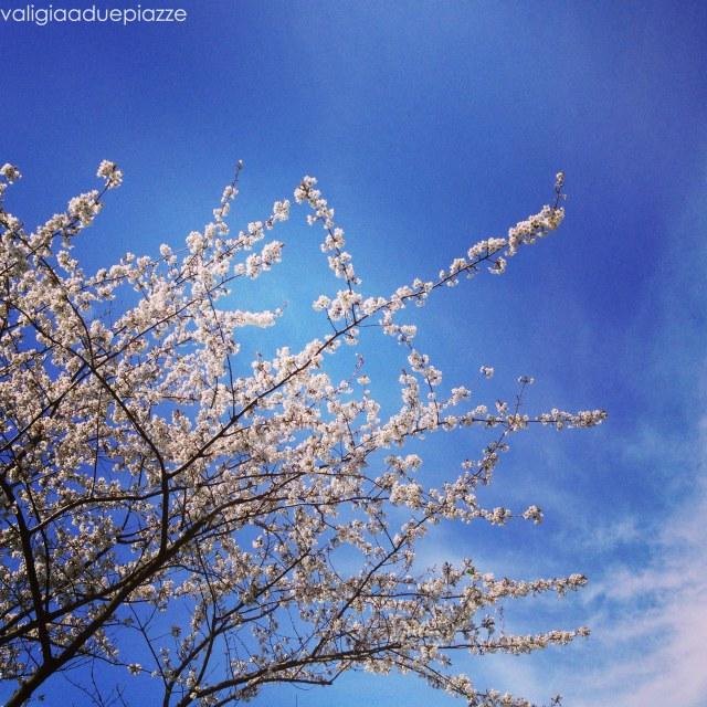 fiori di ciliegio keukenhof