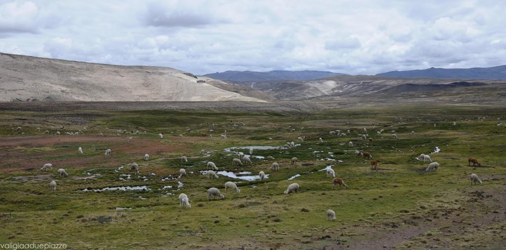 Alpaca Ande Perù