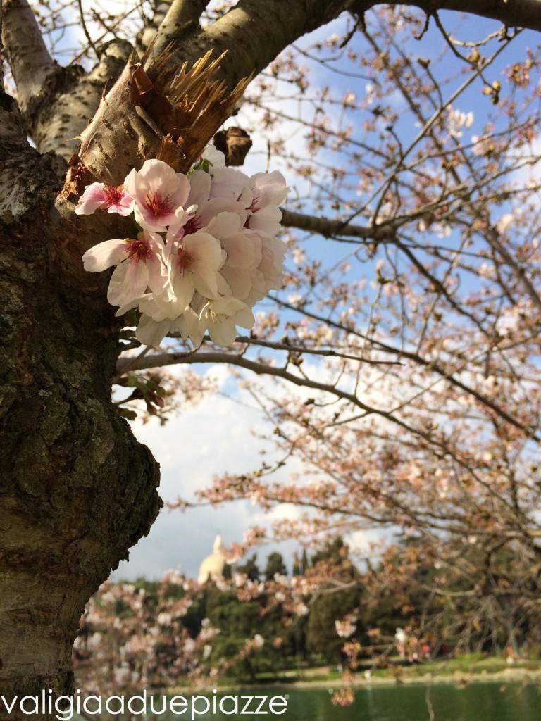 Dettaglio sakura