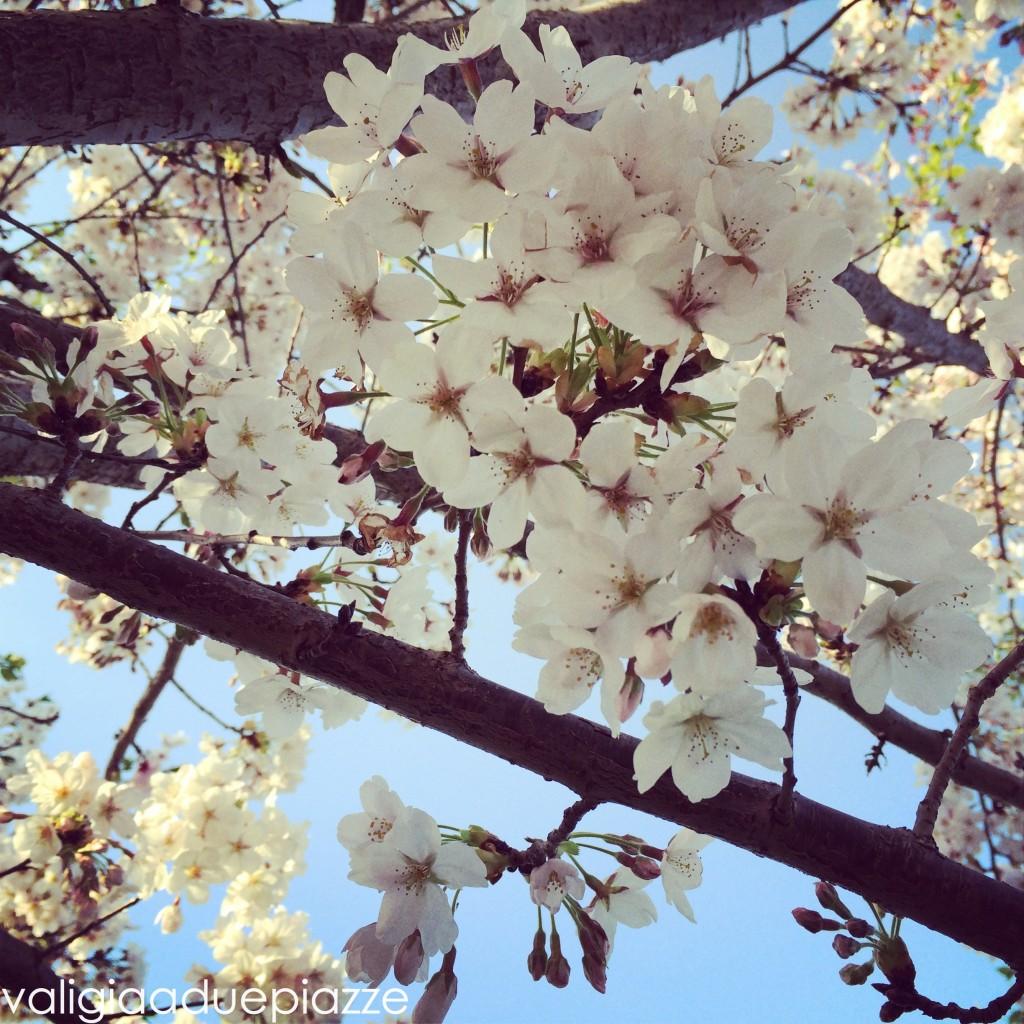 Sakura in fiore Roma
