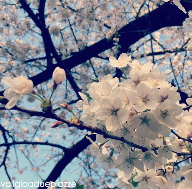 Fioritura completa sakura