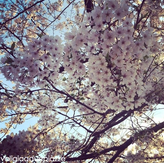 Sakura fioriti