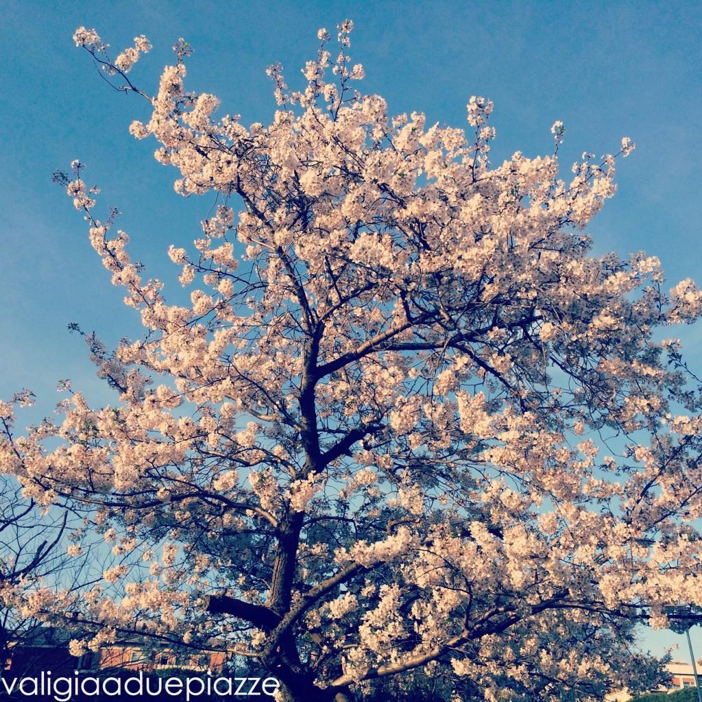 albero di ciliegio giapponese
