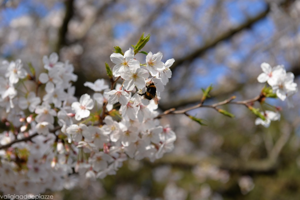 Insetto sakura