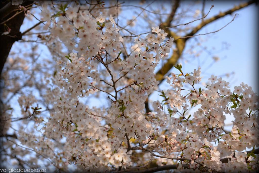 Sakura hanami eur