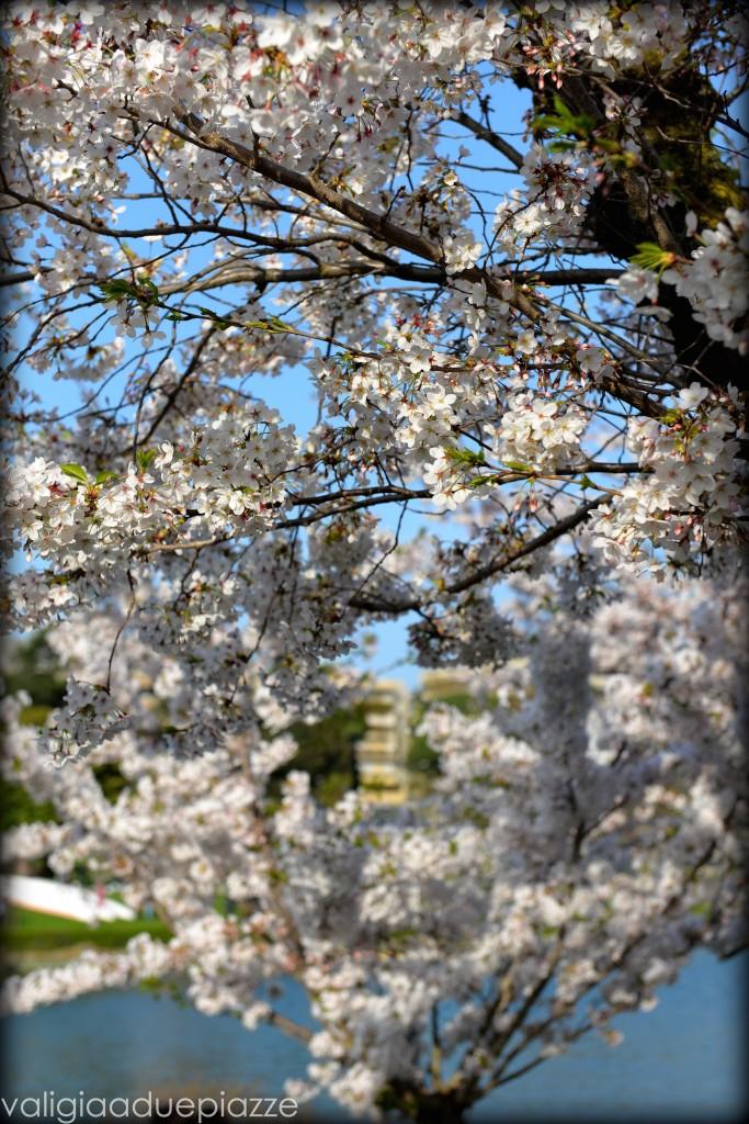 Primavera sakura roma