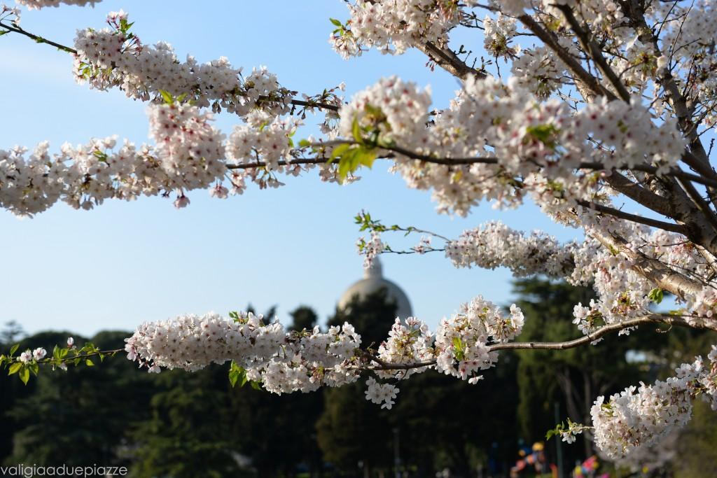 fioritura sakura san pietro e paolo eur