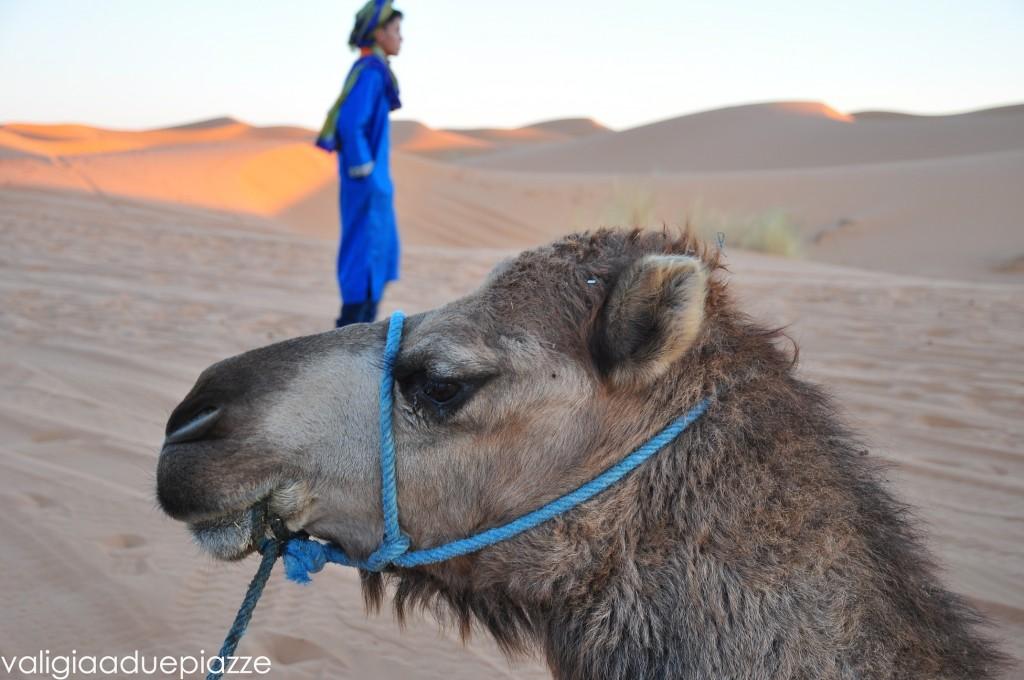 dromedario marocco