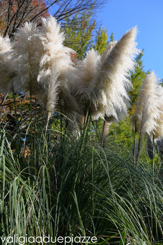 erba della pampas san liberato bracciano