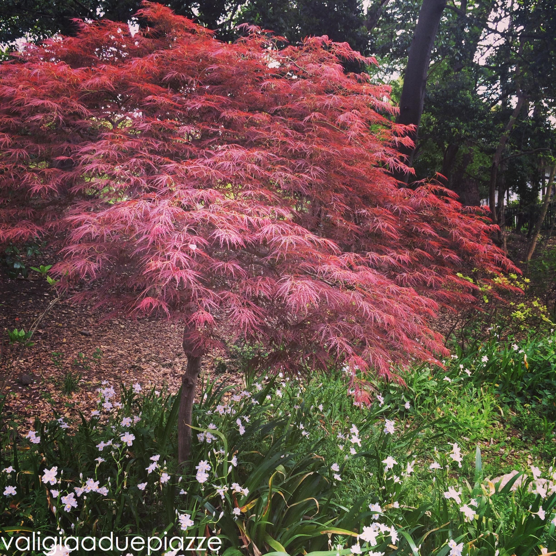 Acero Blu Giapponese giappone: fare hanami tra i sakura a tokyo