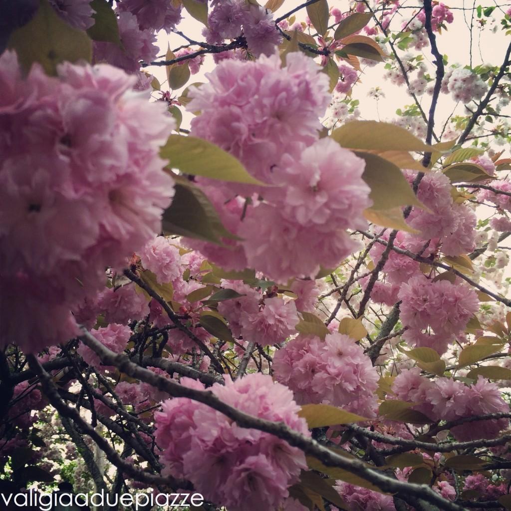 sakura hanami giappone