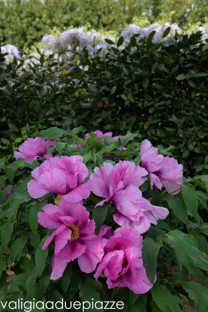 giardino peonie vitorchiano lazio