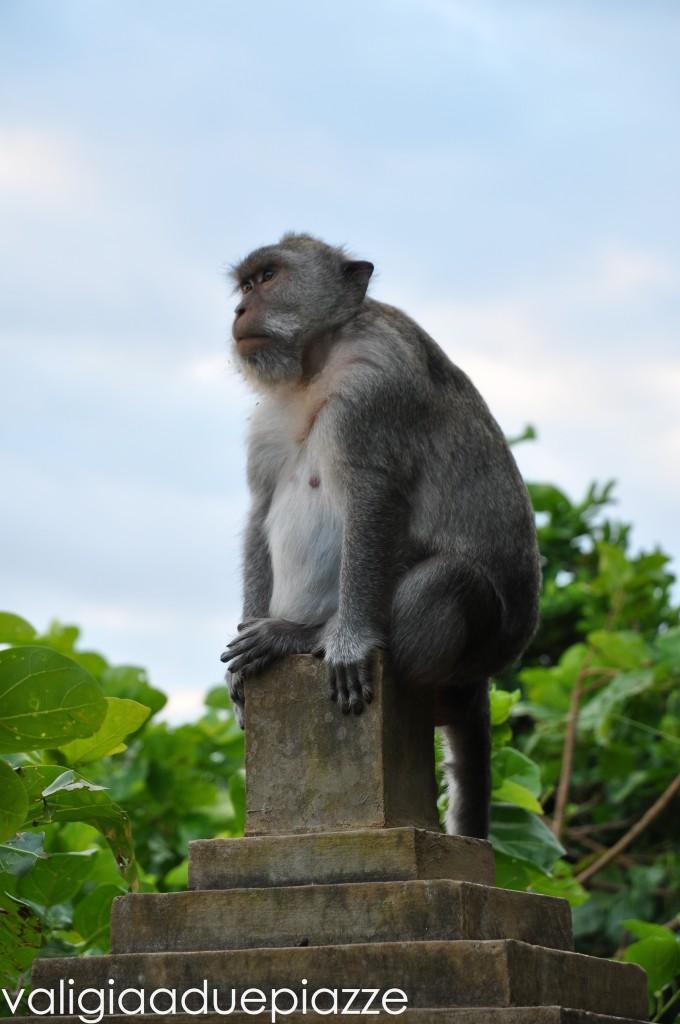 scimmia pura ulu watu bali