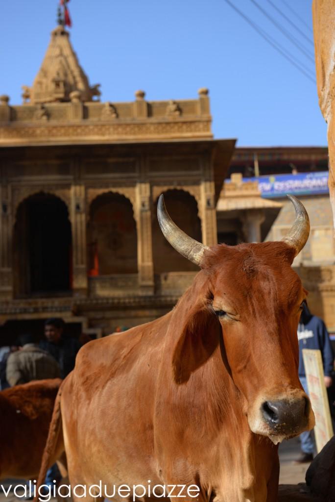 vacca sacra jaisalmer