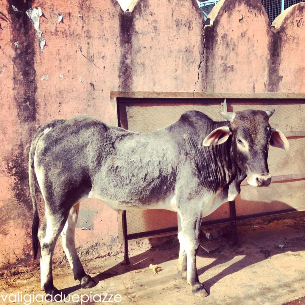 vacca sacra pushkar india