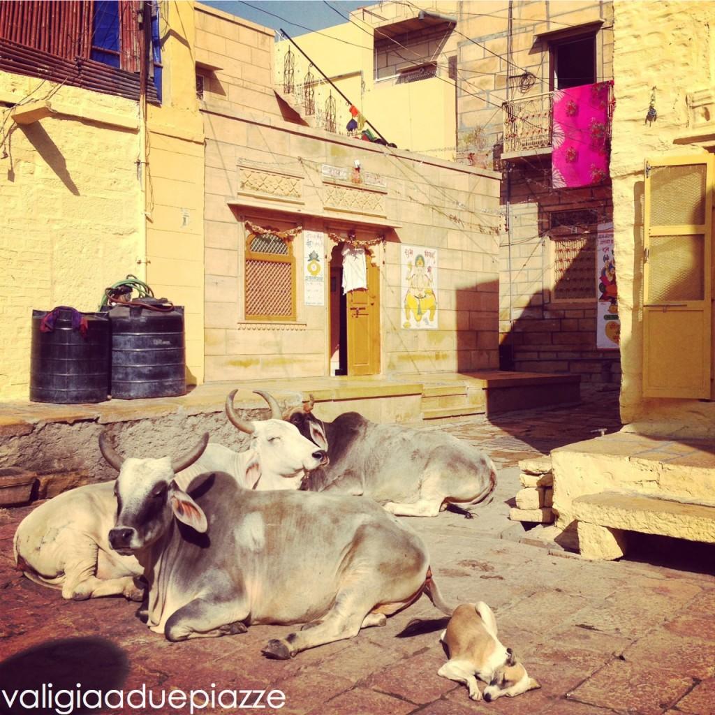 vacche sacre jaisalmer india