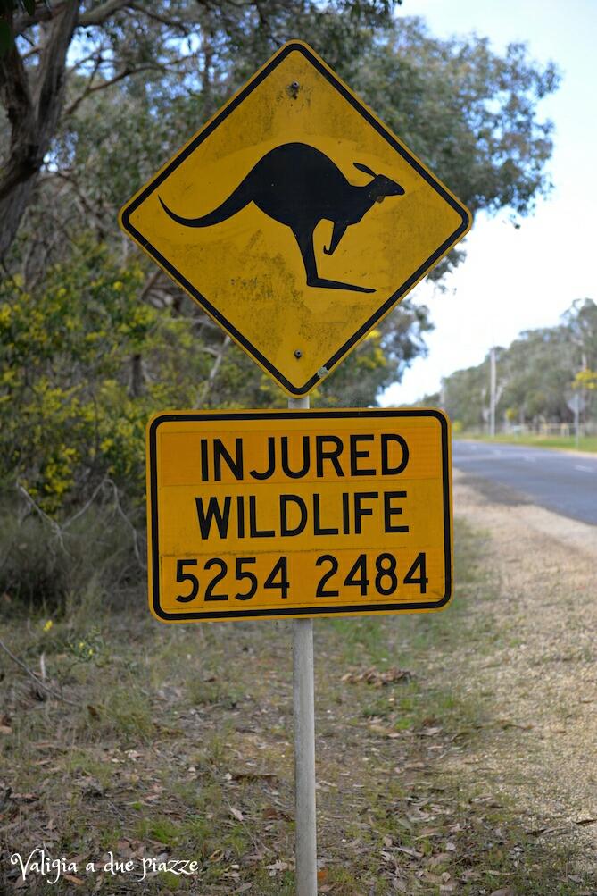 attenzione ai canguri australia