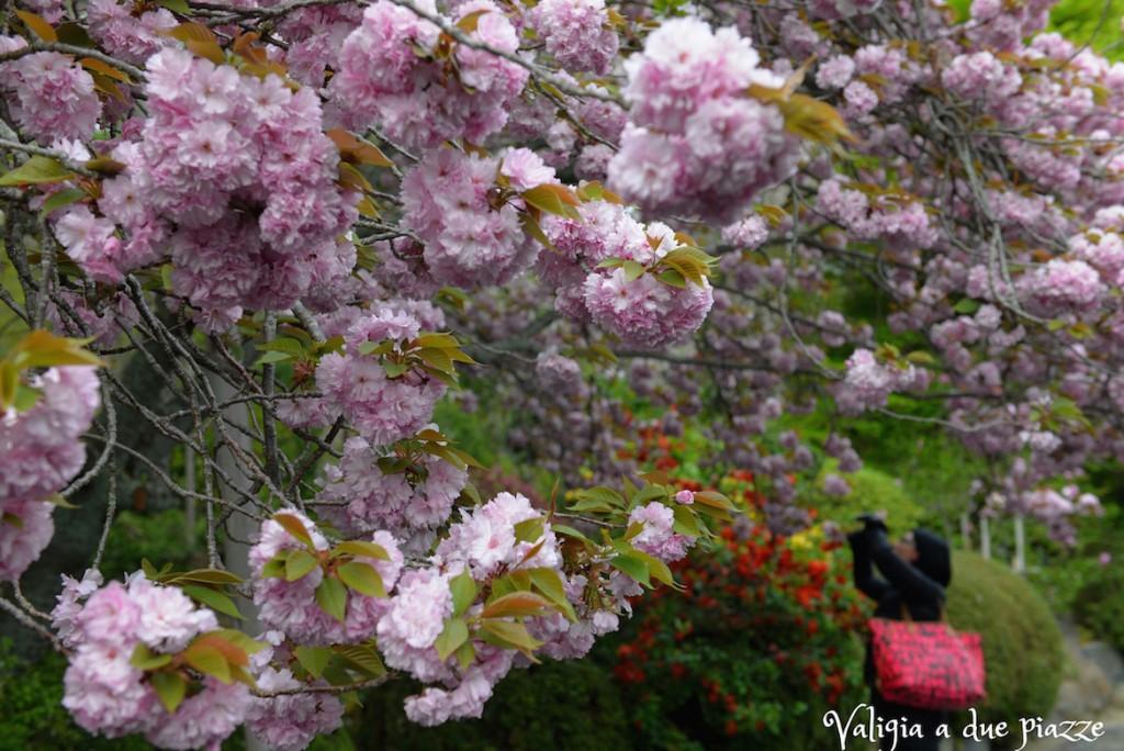 sakura Ryoan-ji Kyoto