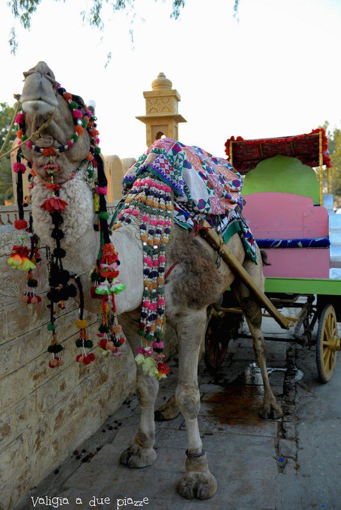 cammello indiano Gadisar Lake Rajasthan