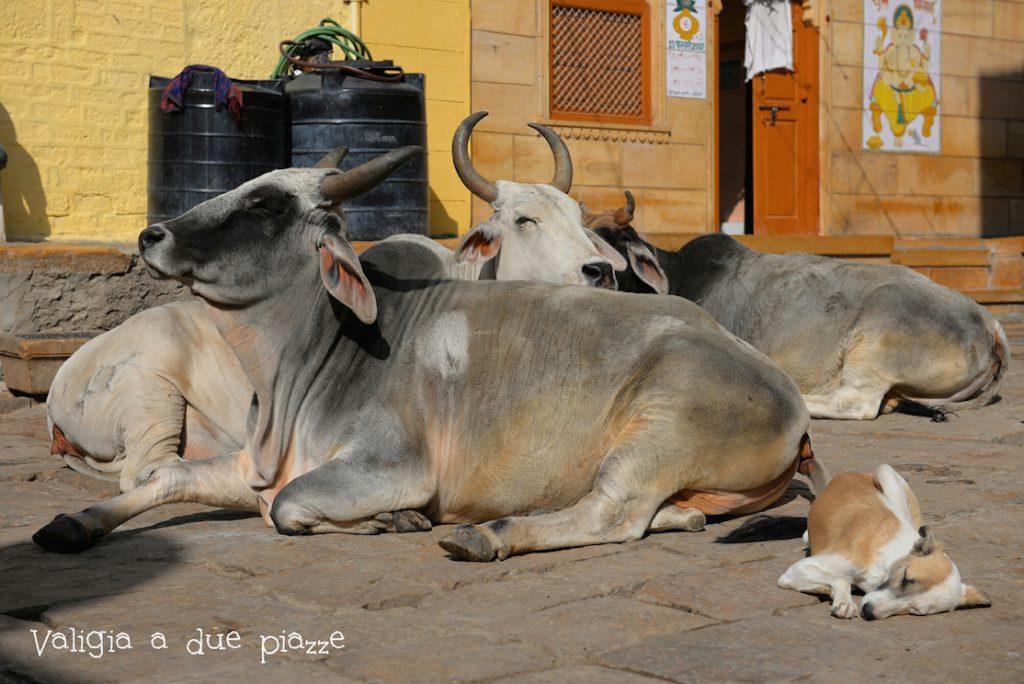 jaisalmer india vacche sacre