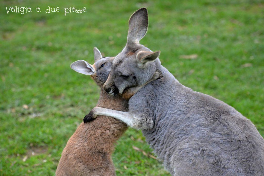 abbracci canguri mamma e figlio cleland adelaide