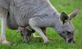 Australia, dove abbracciare un koala e nutrire i canguri