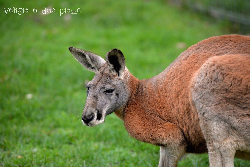 canguro gigante cleland