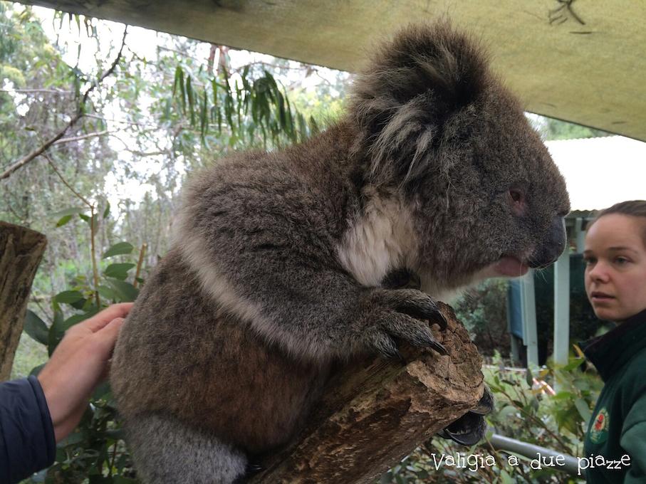 accarezzare koala australia