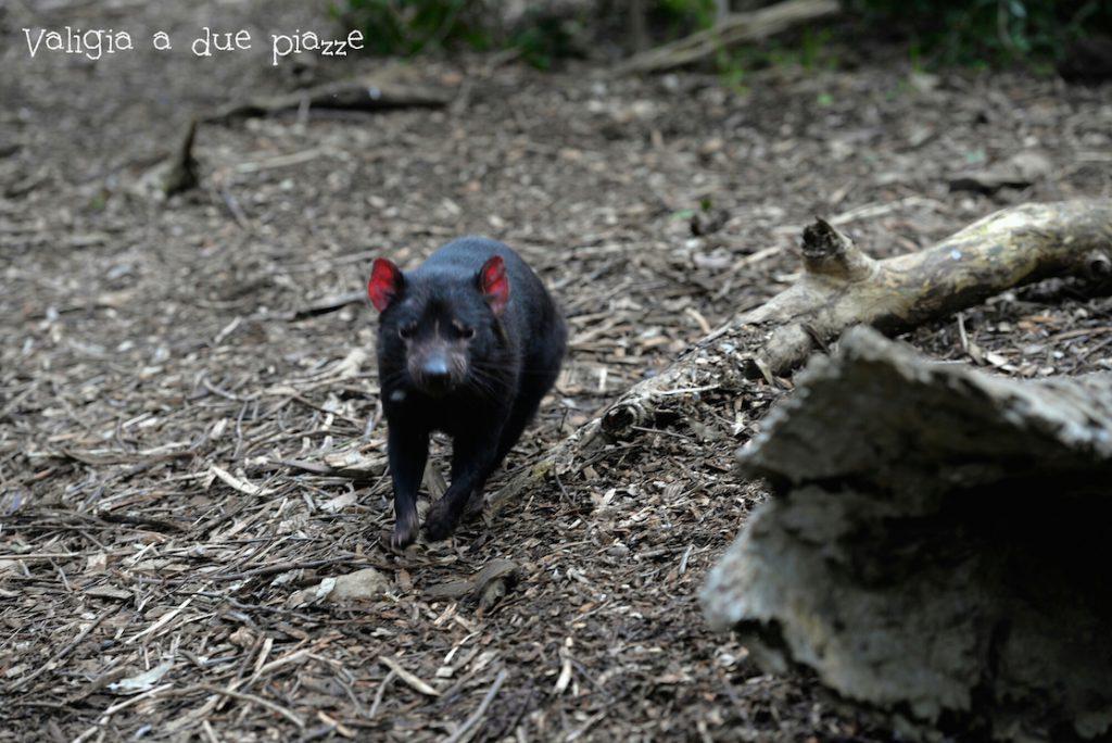 Diavolo di Tasmania