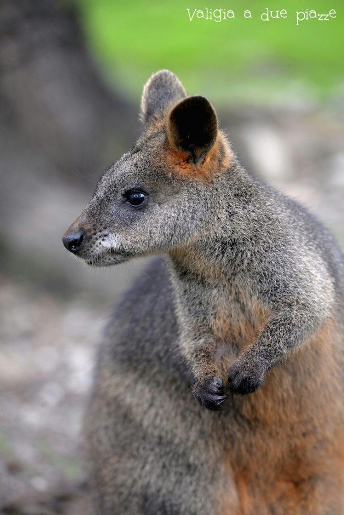 wallaby cleland