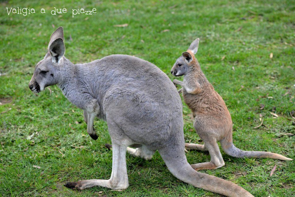 canguri mamma e figlio