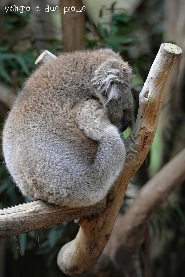 abbracciare animali selvatici australia