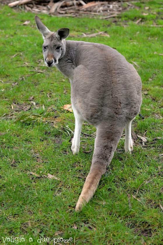 canguro cleland