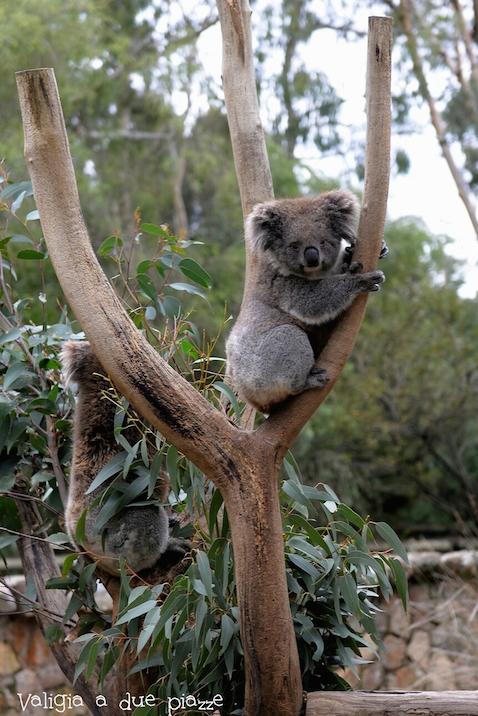 cleland koala adelaide