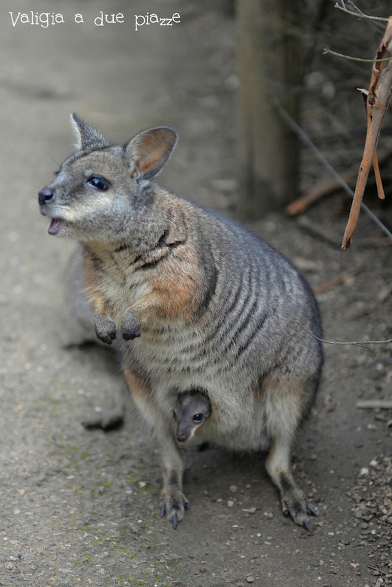 wallaby cleland