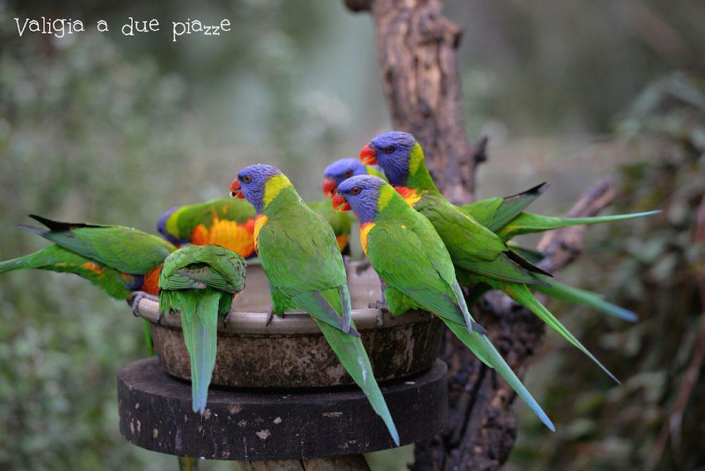 pappagalli australia