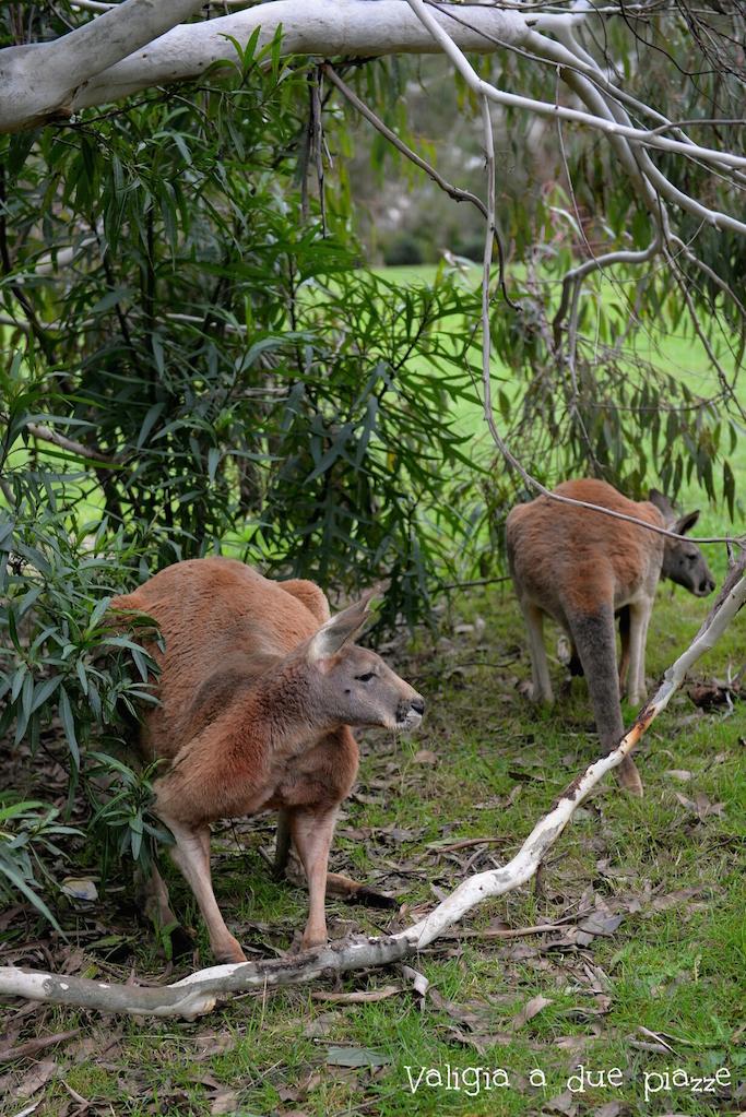 canguri giganti cleland