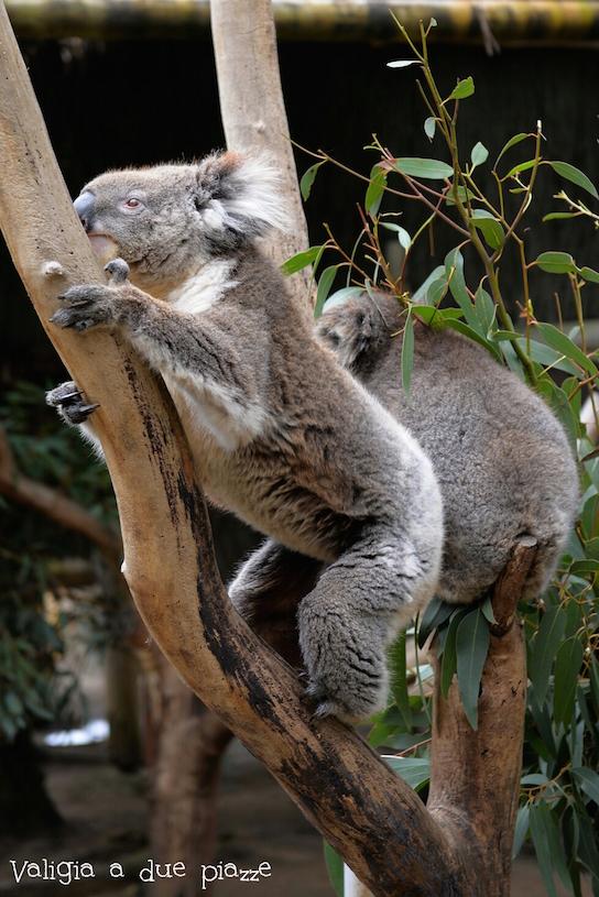 koalas cleland australia