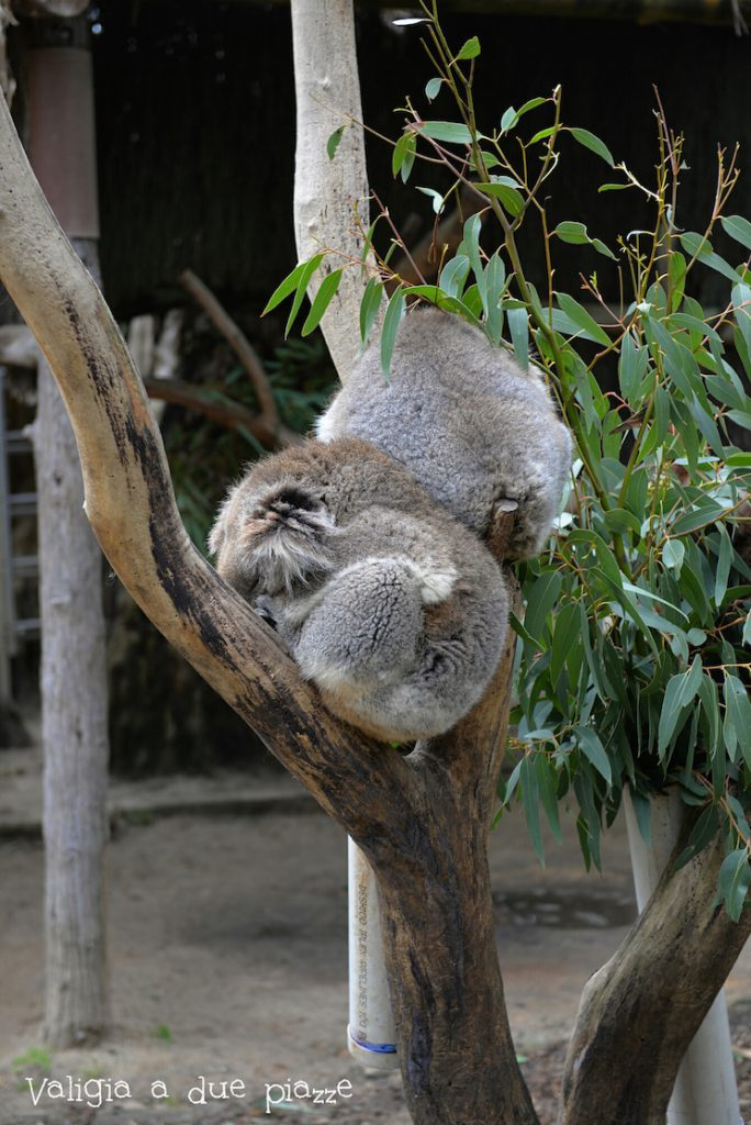 koalas adelaide