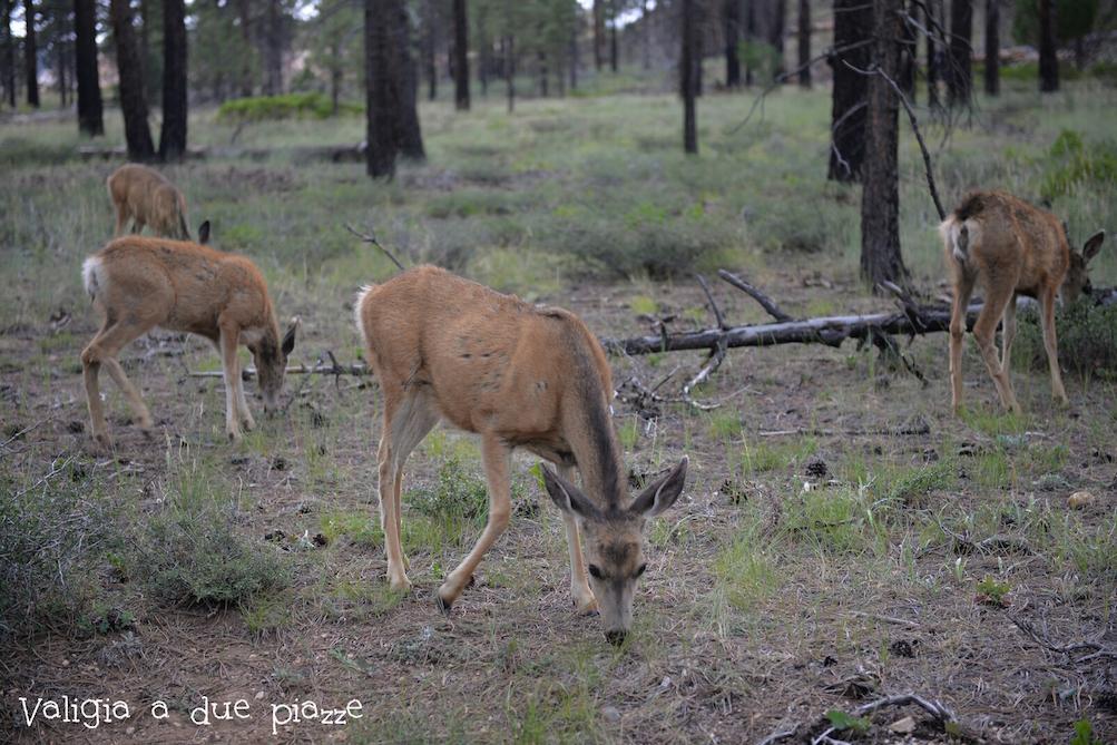 animali selvatici bryce canyon