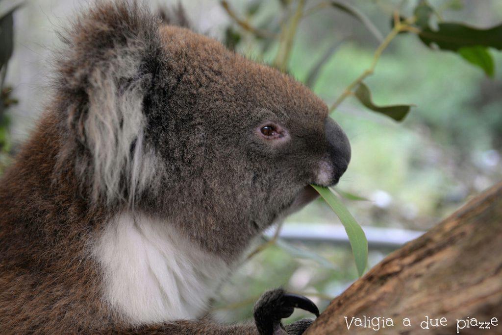 dove abbracciare un koala in australia
